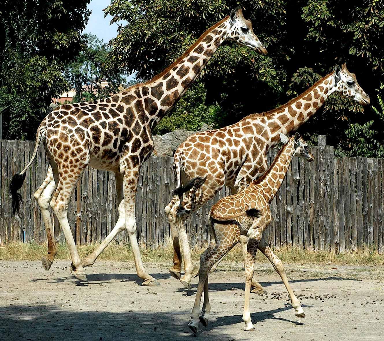 giraffina 1 L.jpg