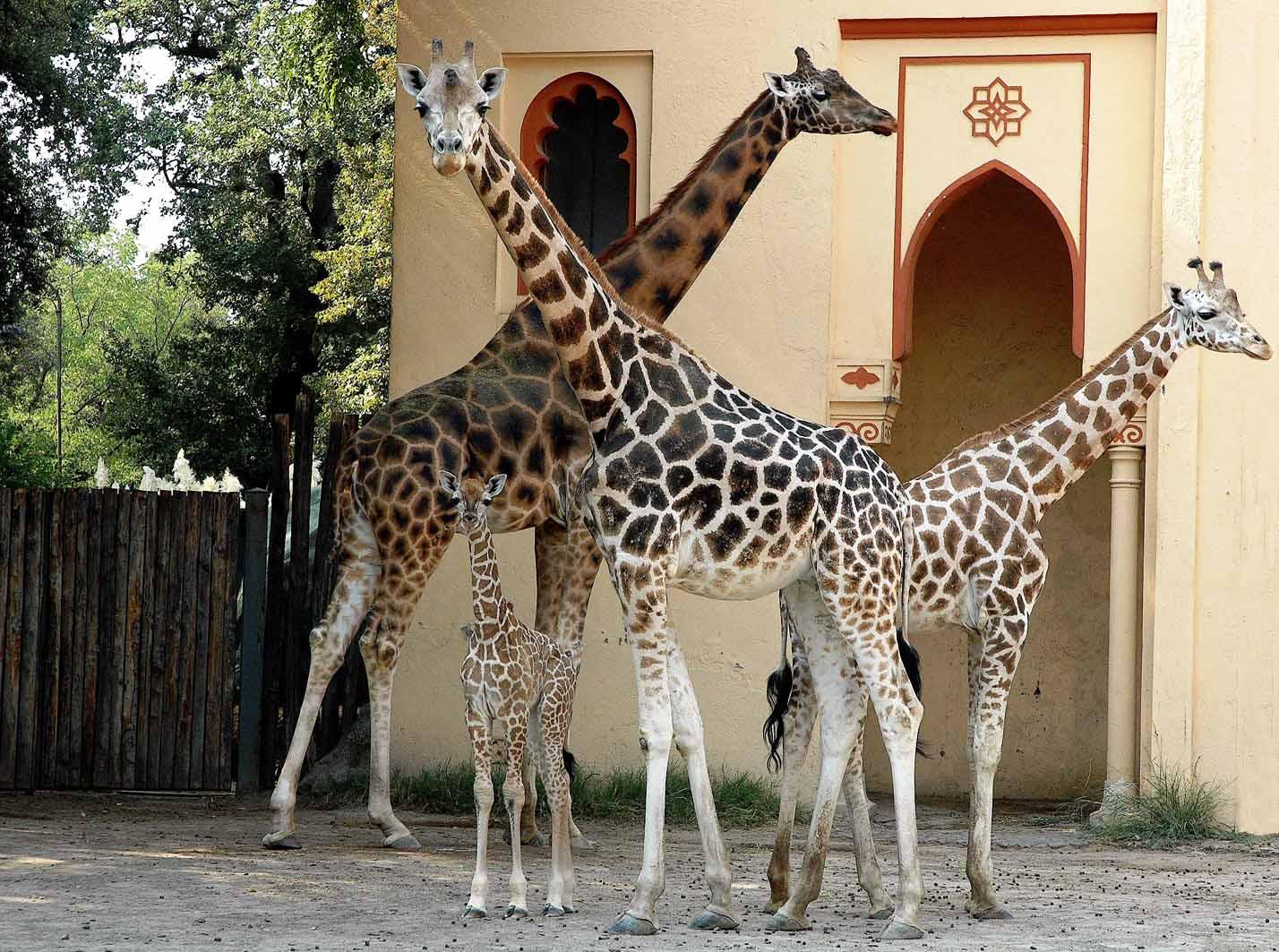 giraffina 2 L.jpg